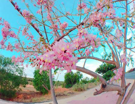 Con đường đỗ mai tuyệt đẹp ven biển Phan Thiết