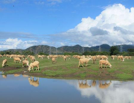 Cánh đồng cừu đẹp mê hồn ở Ninh Thuận