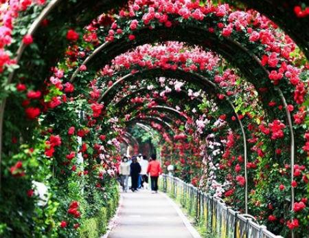 Lễ hội hoa hồng lớn nhất Việt Nam sẽ tổ chức ở Hà Nội